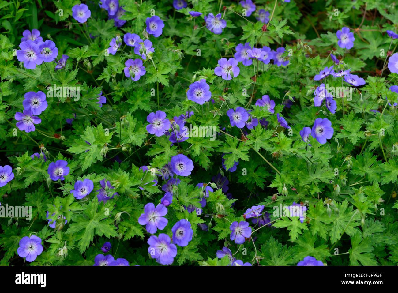 Geranium Rozanne Blue Flower Flowers Flowering Perennial Plant Stock