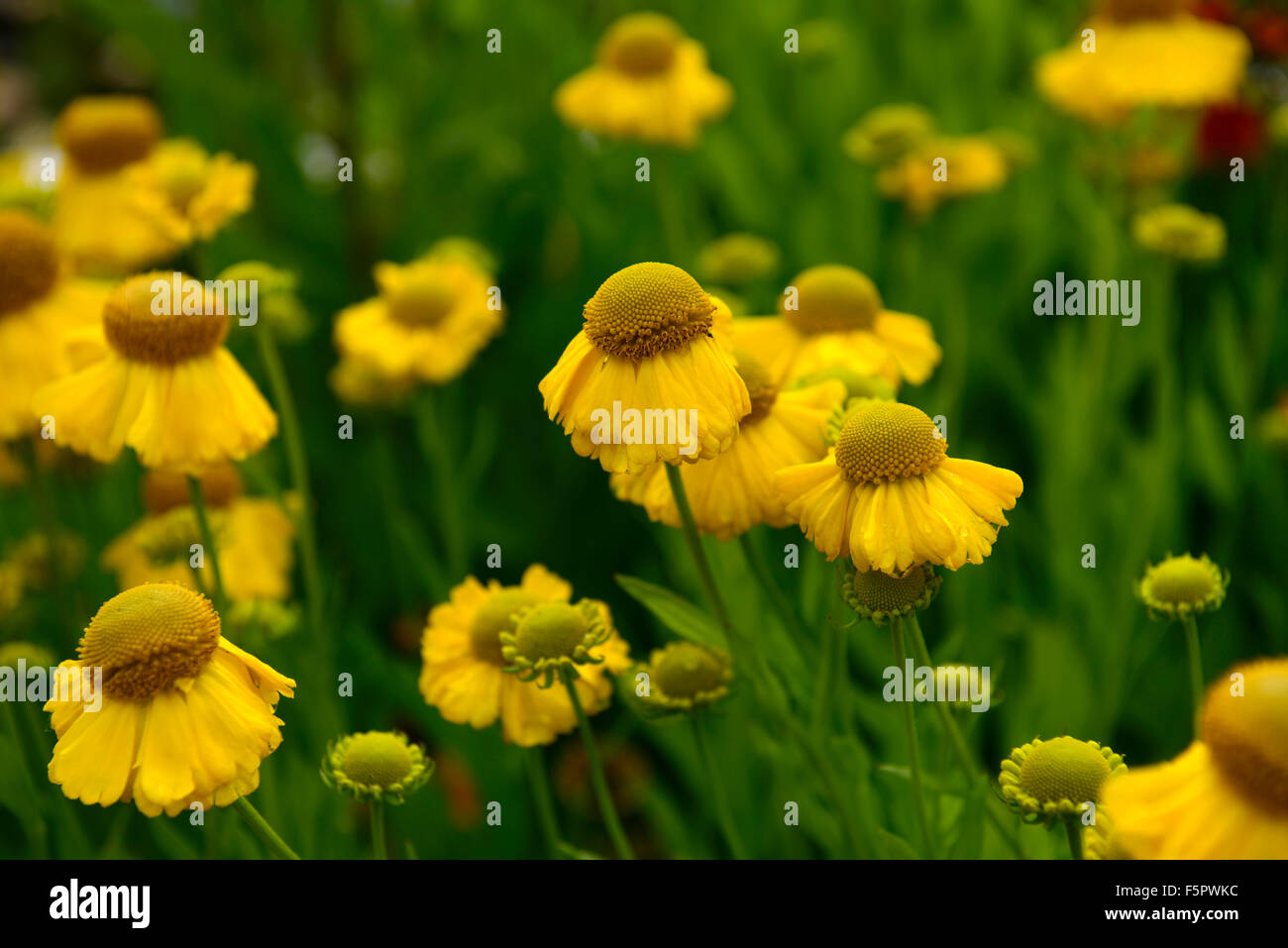 helenium golden youth syn Goldene Jugend yellow heleniums sneezeweed flower flowers flowering perennial RM Floral - Stock Image