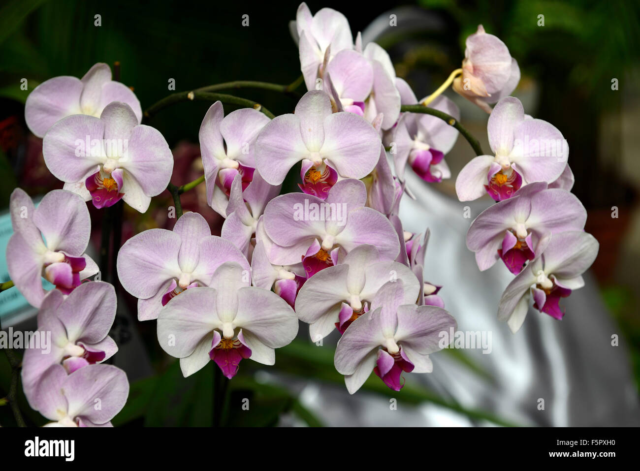 Phalaenopsis Super Pink Lady Flower Flowers Orchid Orchids Tropical