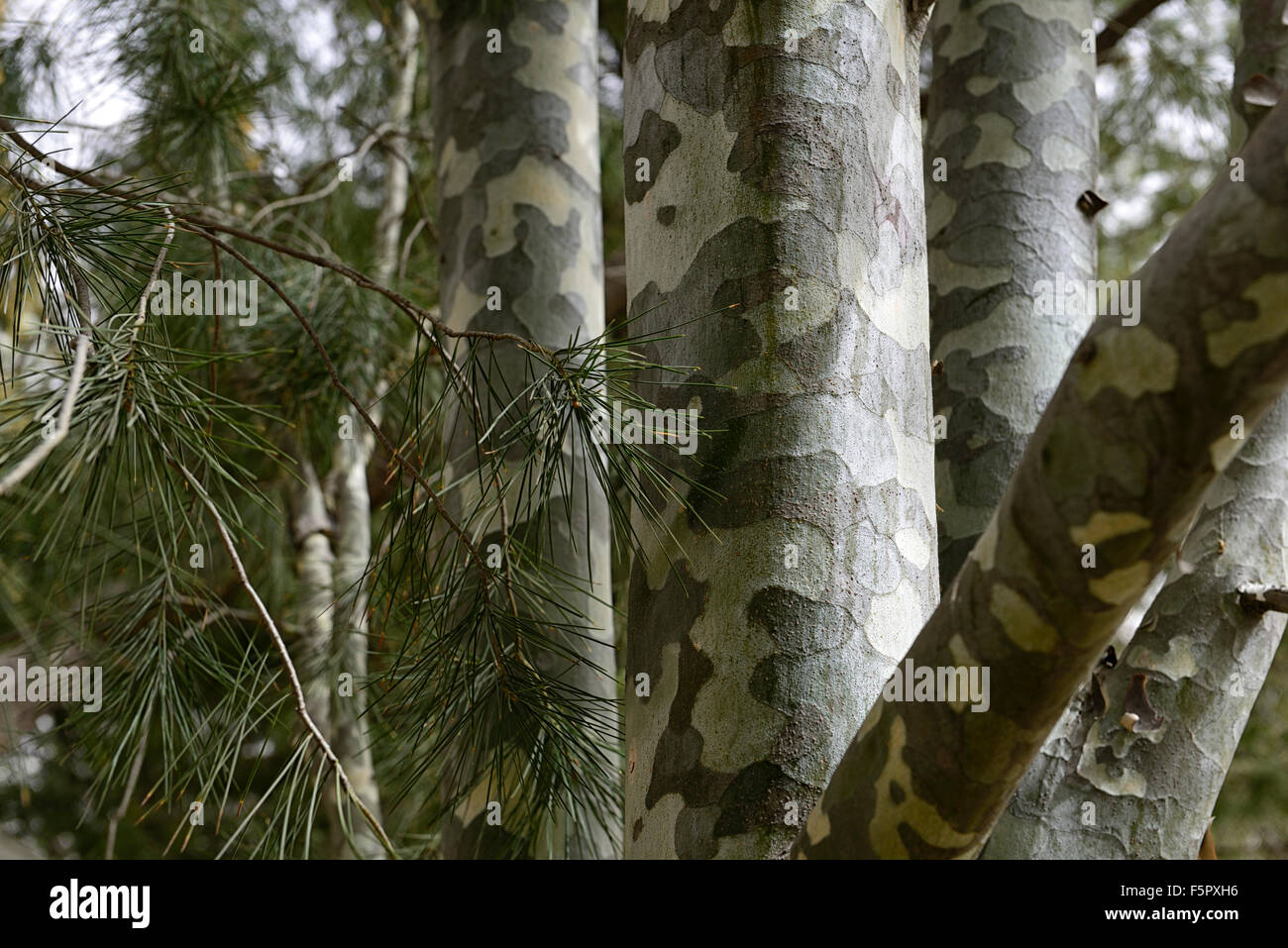 pinus bungeana Lacebark Pine mottled ornamental feature exfoliating bark attractive tree trunk trees RM Floral - Stock Image