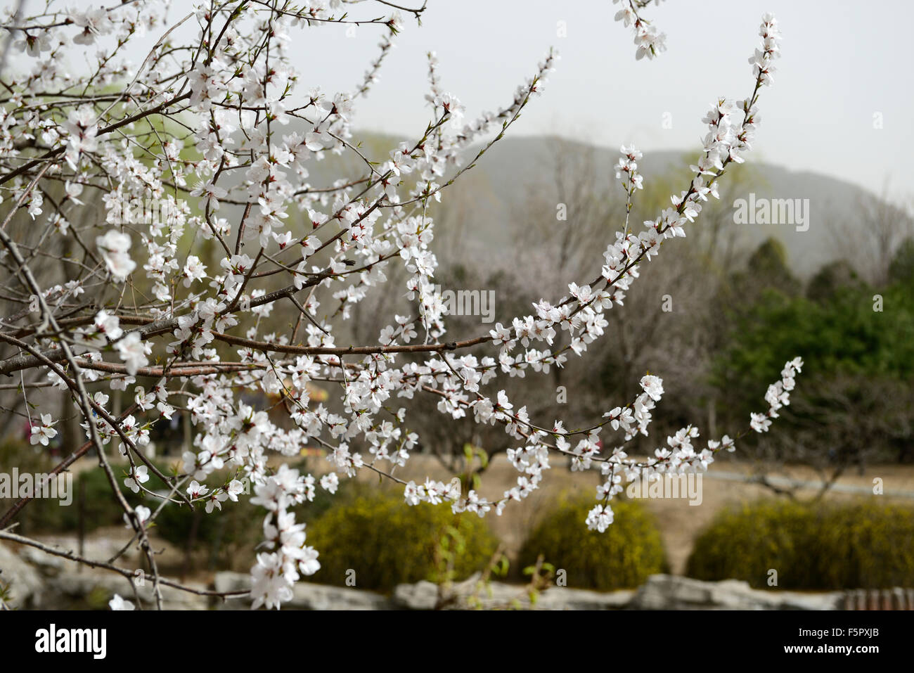 Prunus davidiana franch white flower flowers blossom blossoms prunus davidiana franch white flower flowers blossom blossoms chinese wild peach tree spring rm floral mightylinksfo