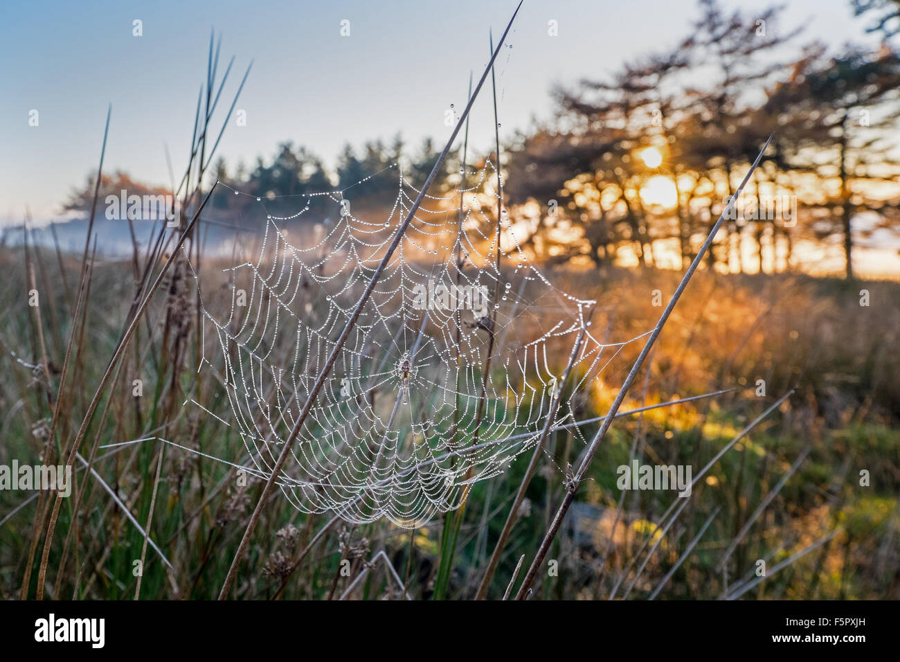 Cobwebs and late afternoon sun on misty Autumn day in the Peak District, UK - Stock Image