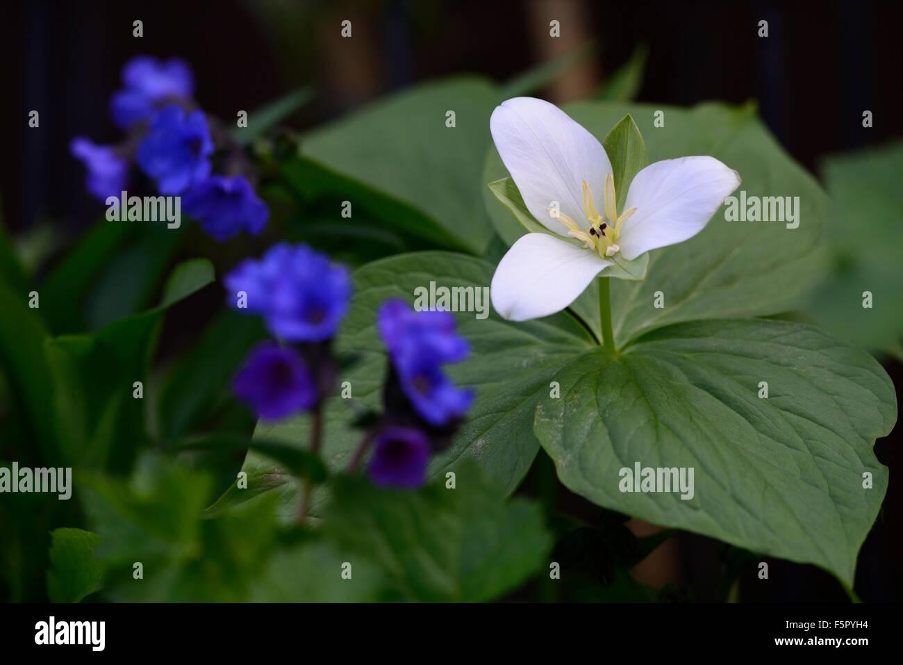 Trillium Camtschatcense Pulmonaria Blue Ensign Spring Flowers Stock