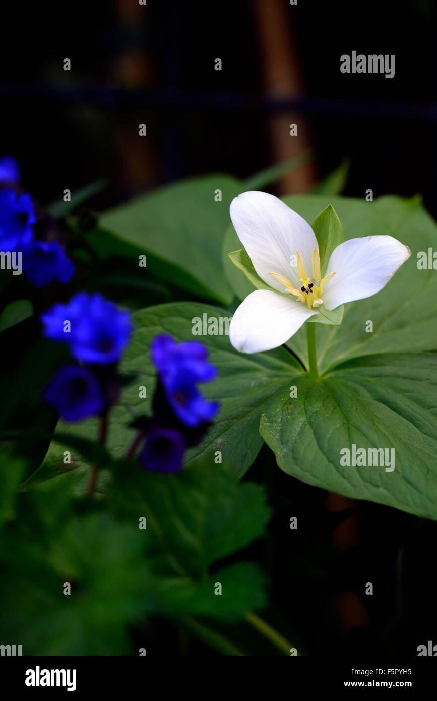 Trillium Camtschatcense Spring Flowers Flowering Stock Photos