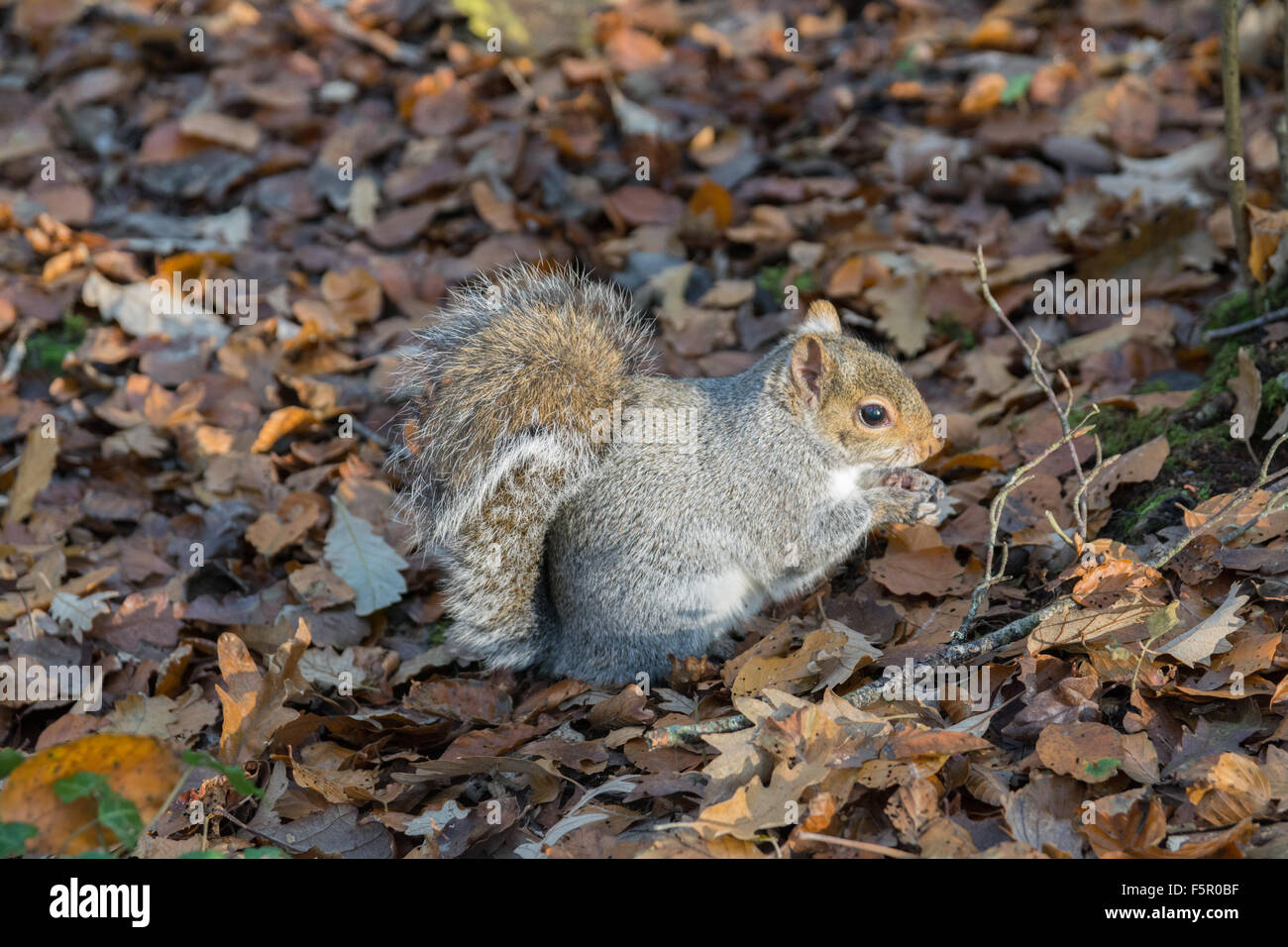 Grey squirrel eating a nut on the forest floor - Stock Image