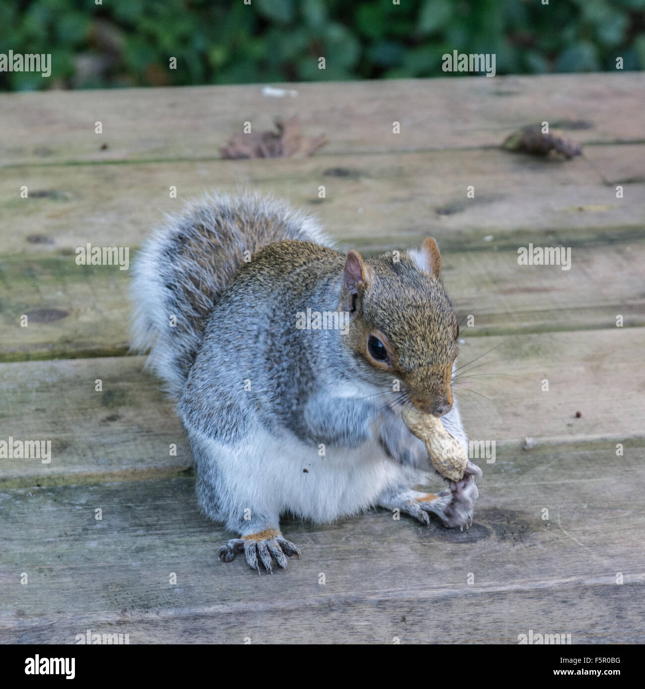 Grey Squirrel eating a nut on a park table - Stock Image