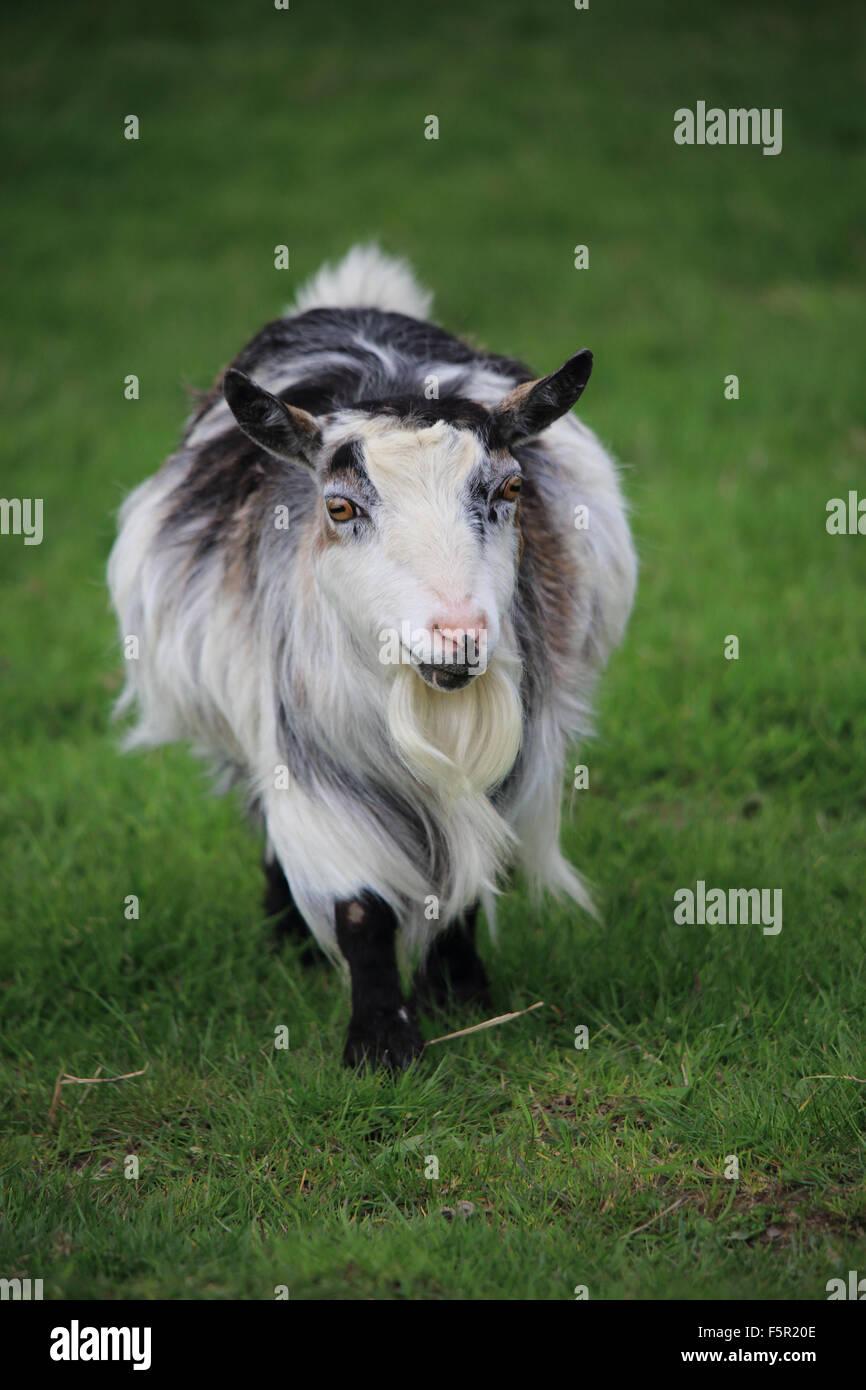 goatA beautiful Pygmy Goat walking on green grass - Stock Image