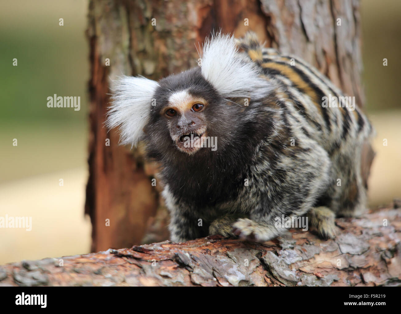 A lovely Common Marmoset, also known simply as Marmoset, sitting on a bare tree stump - Stock Image