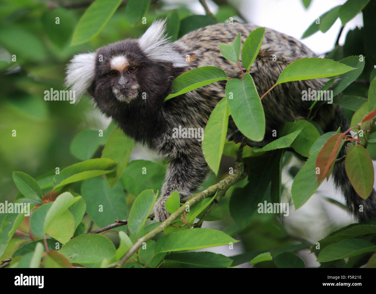 A lovely Common Marmoset, also known simply as Marmoset, sitting in a tree - Stock Image