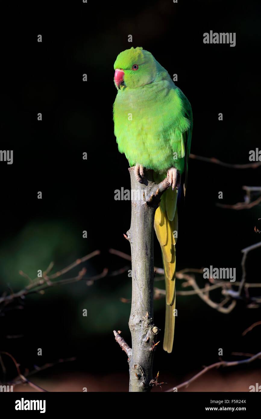 Rose-ringed parakeet or ring-necked parakeet (Psittacula krameri), adult on tree, Baden-Württemberg, Germany Stock Photo