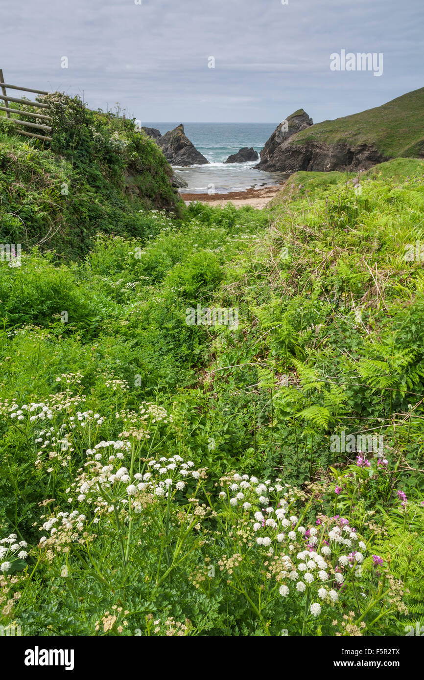 Wildflowers growing in a cove in Devon near the sea. Stock Photo
