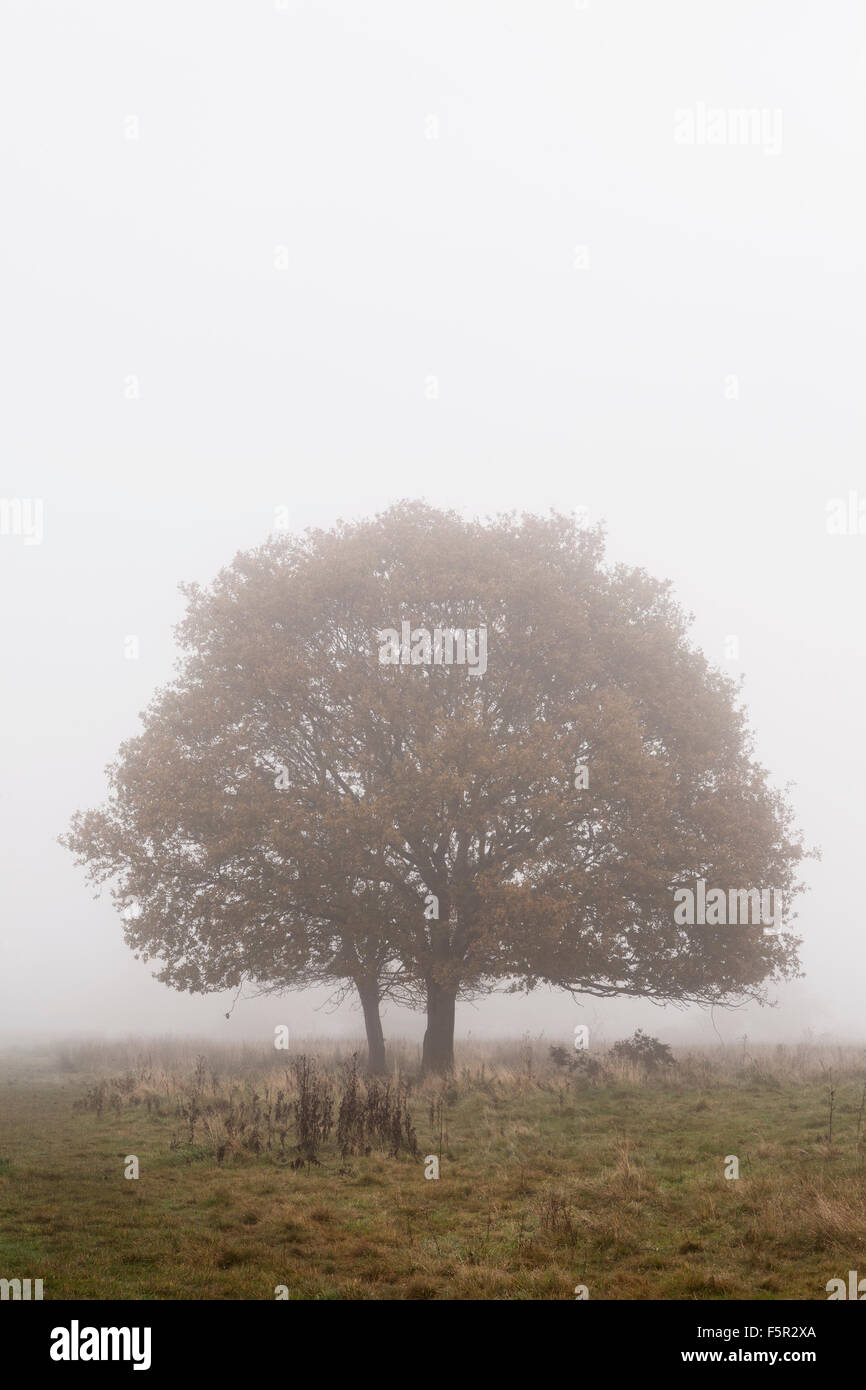 Two small oak trees stand in the fog on Castlemorton common, Worcestershire Stock Photo