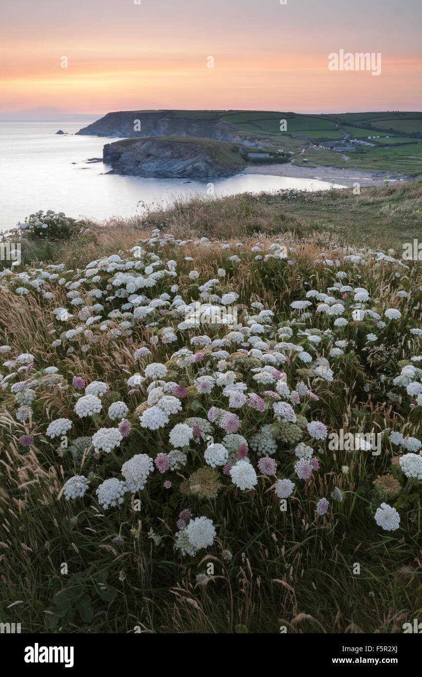 Common hogweed, Heracleum sphondylium, on the cliffs overlooking Church Cove, Cornwall, at sunset. Stock Photo