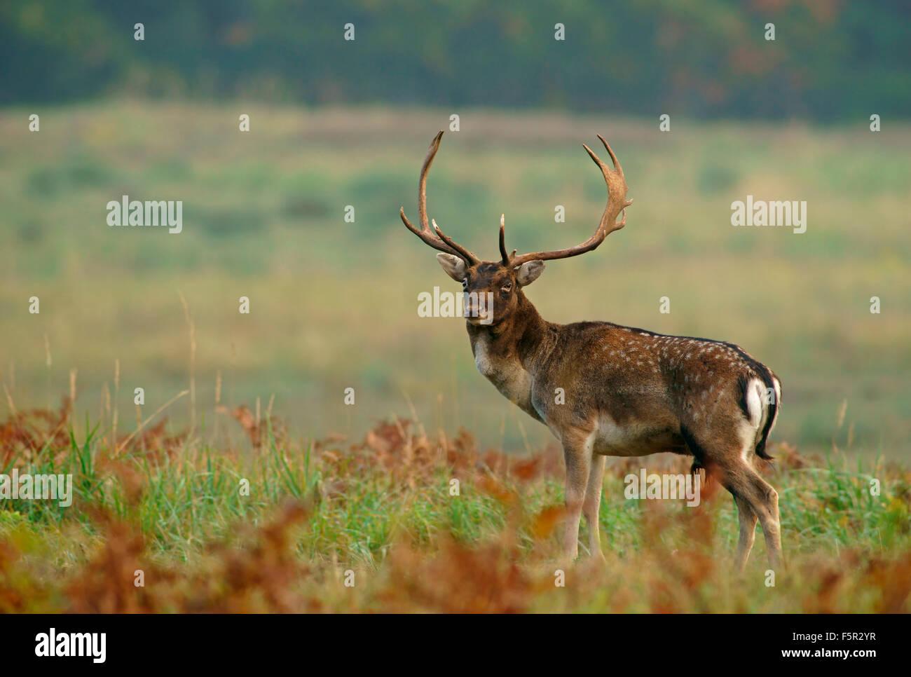 Fallow deer (Dama dama), buck, Hesse, Germany - Stock Image