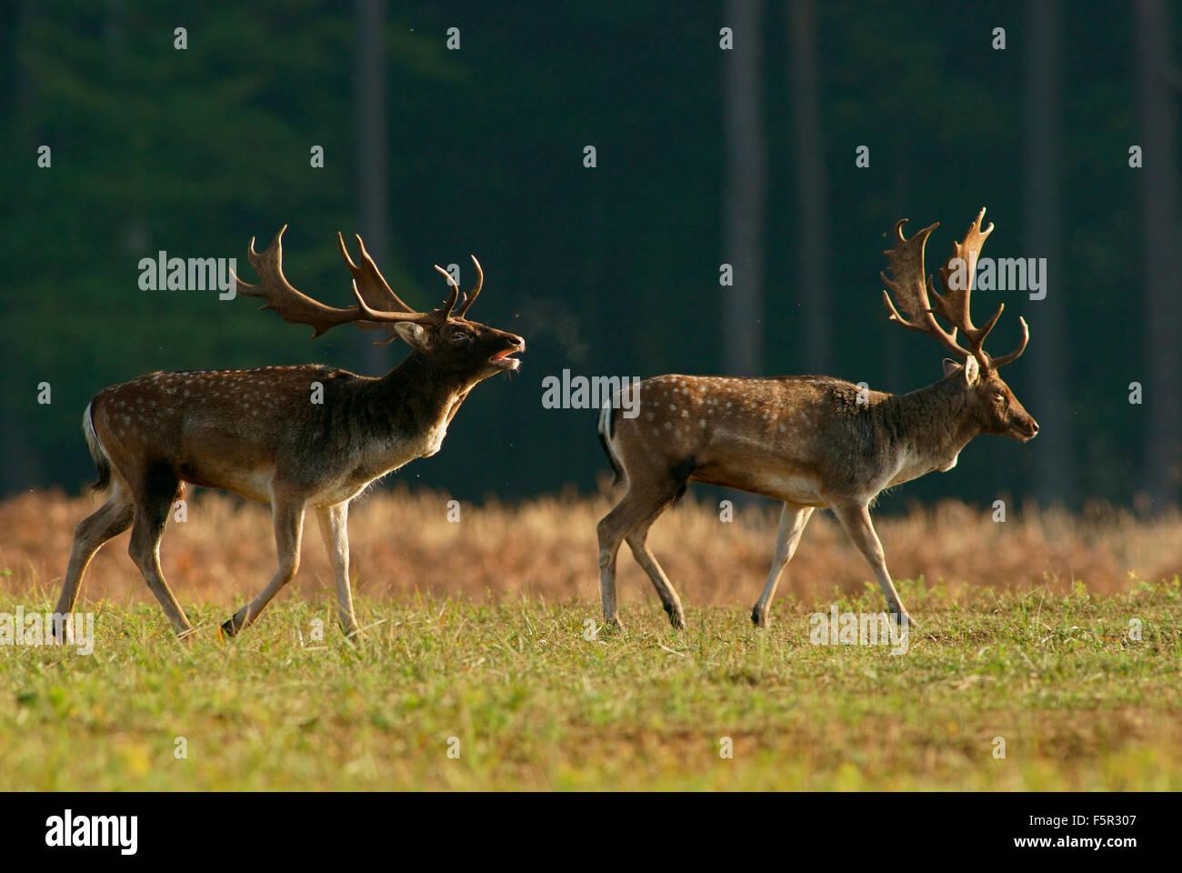 Fallow deer (Dama dama), bucks during the rut, Hesse, Germany - Stock Image