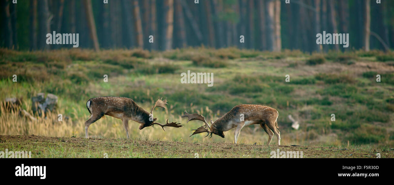 Fallow deer (Dama dama), ranking fights, bucks during the rut, Hesse, Germany - Stock Image