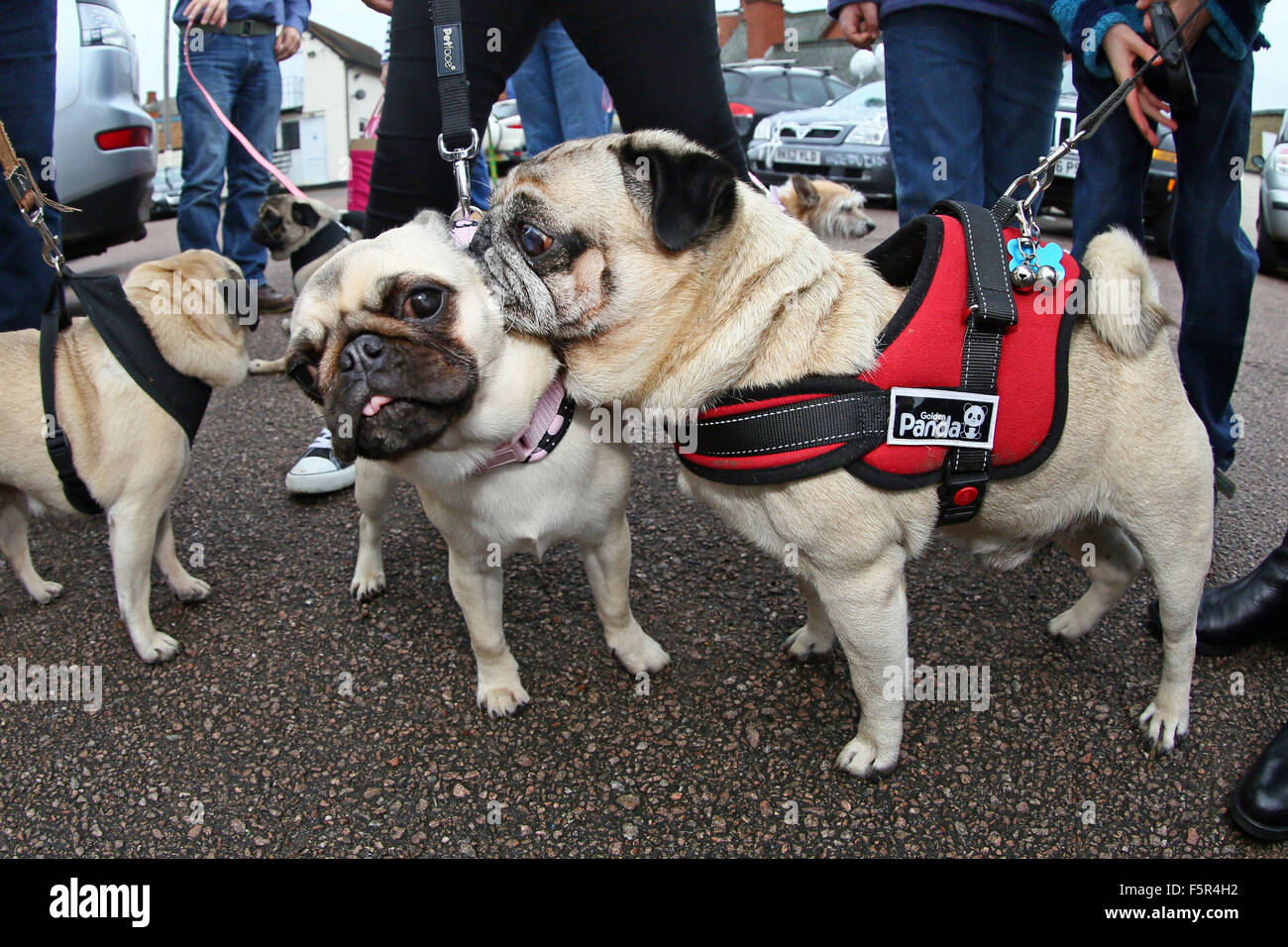 Milton Keynes, UK. 8th November 2015. Angel (Angelcake) the Pug doesn't look impressed by Gary Garibaldi the - Stock Image