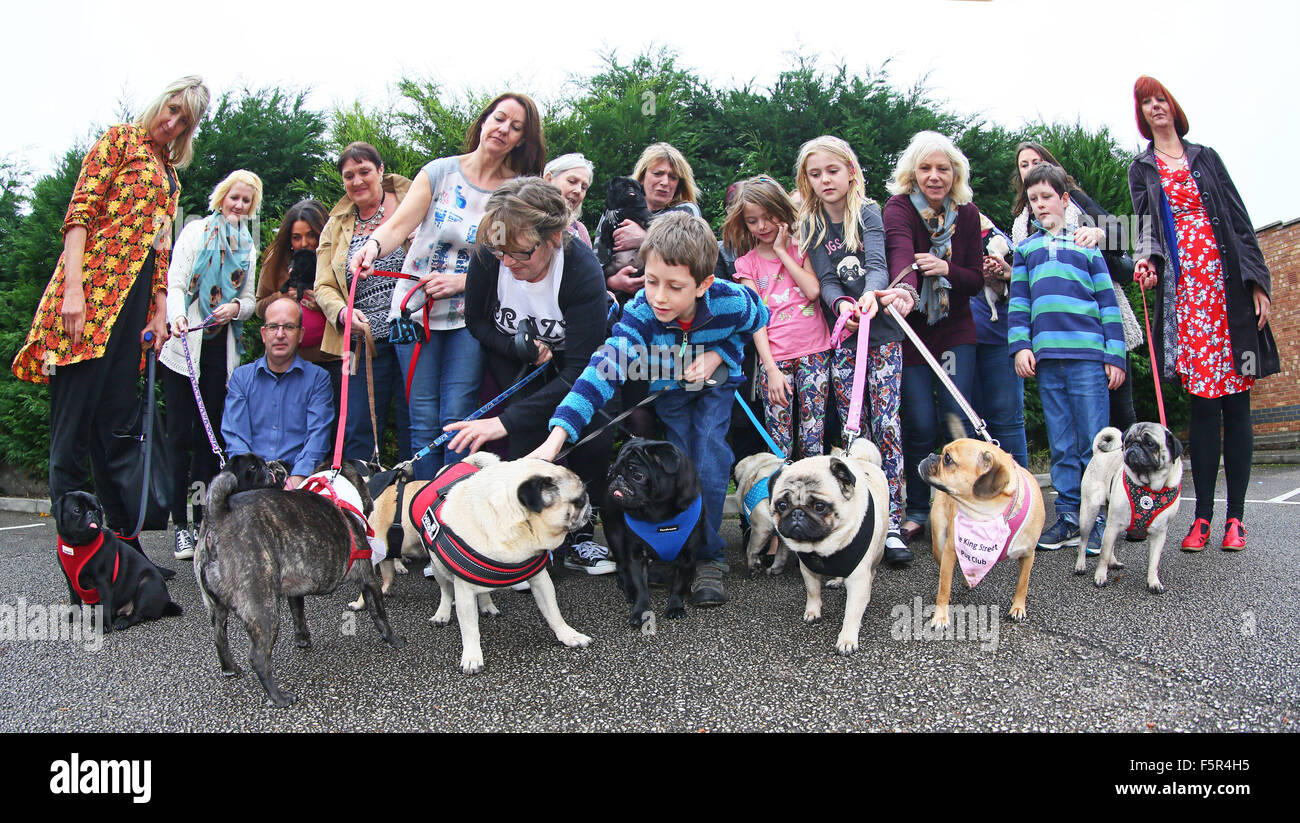 Milton Keynes, UK. 8th November 2015. All the rescue dogs together at the Muffin Pug charity 1st anniversary party, - Stock Image