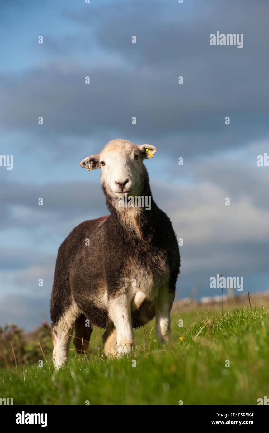 Herdwick ewe in pasture, Cumbria, UK. - Stock Image
