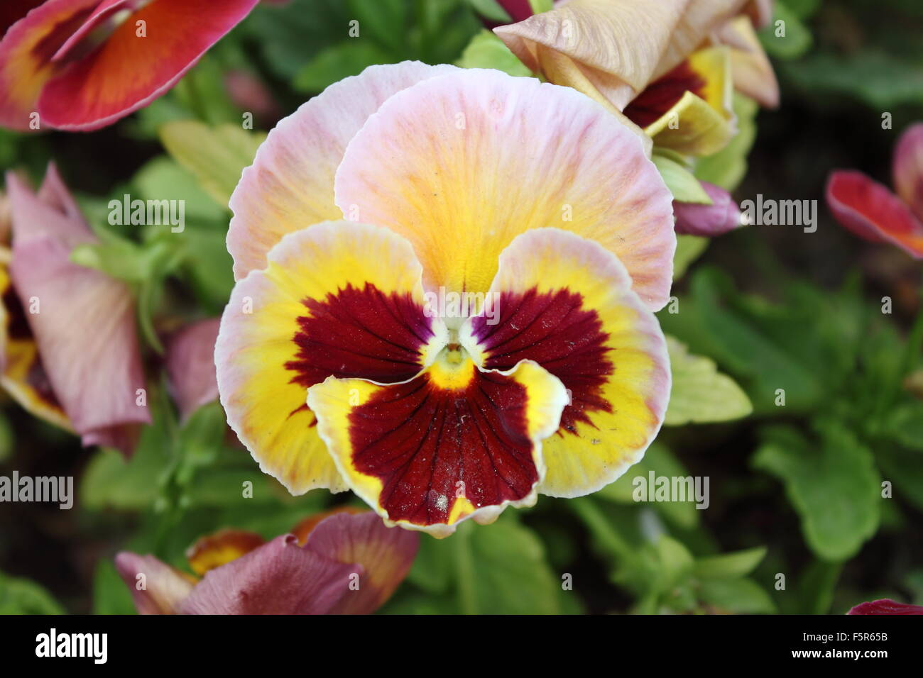 Closeup view of a beautiful white pansy flower (Viola Wittrockiana) - Stock Image
