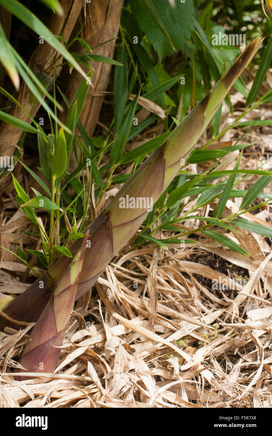 Emerging culms of the Chilean foxtail bamboo, Chusquea culeou - Stock Image