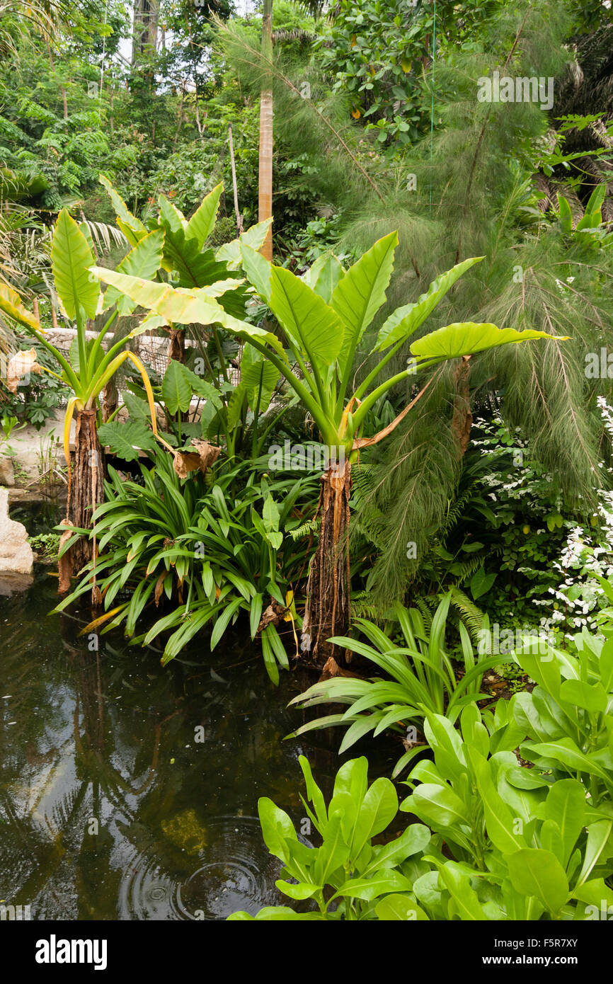 Massive foliage of the tropical marginal Typhonodorum lindleyanum dominates the pool in the rainforest biome at - Stock Image