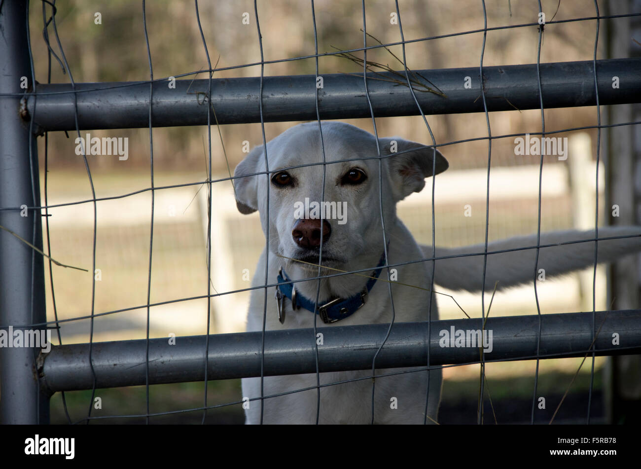 'Let me out'. White dog looking through wire fence, USA - Stock Image