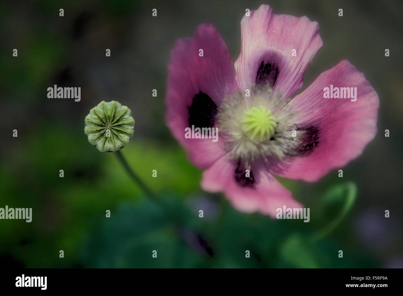 Pink Poppy Flower And Seed Pod Stock Photo 89642038 Alamy