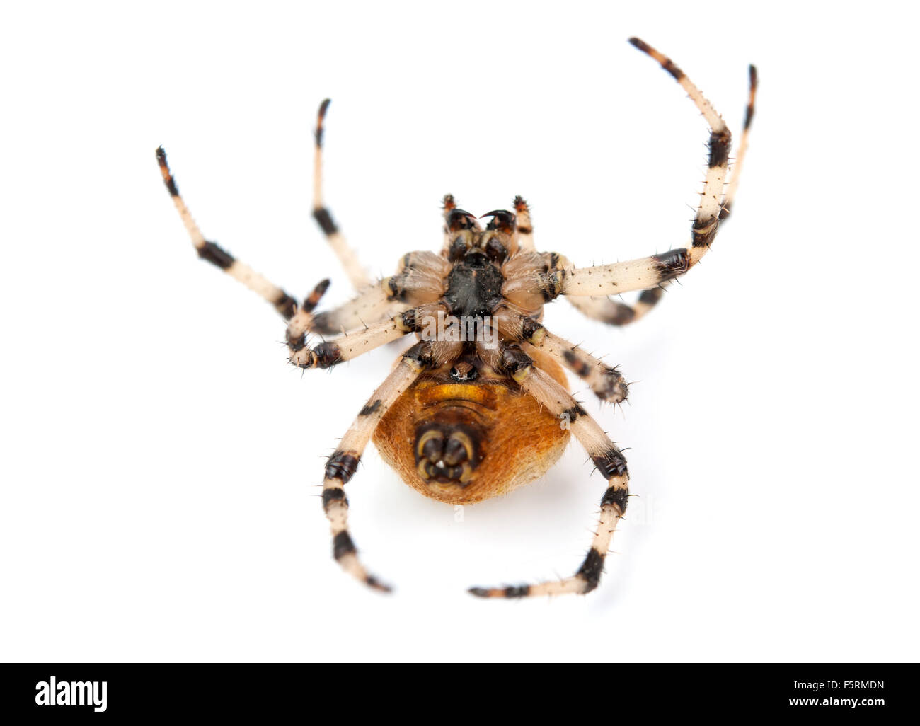 spider, Araneus diadematus, on its back against white background - Stock Image