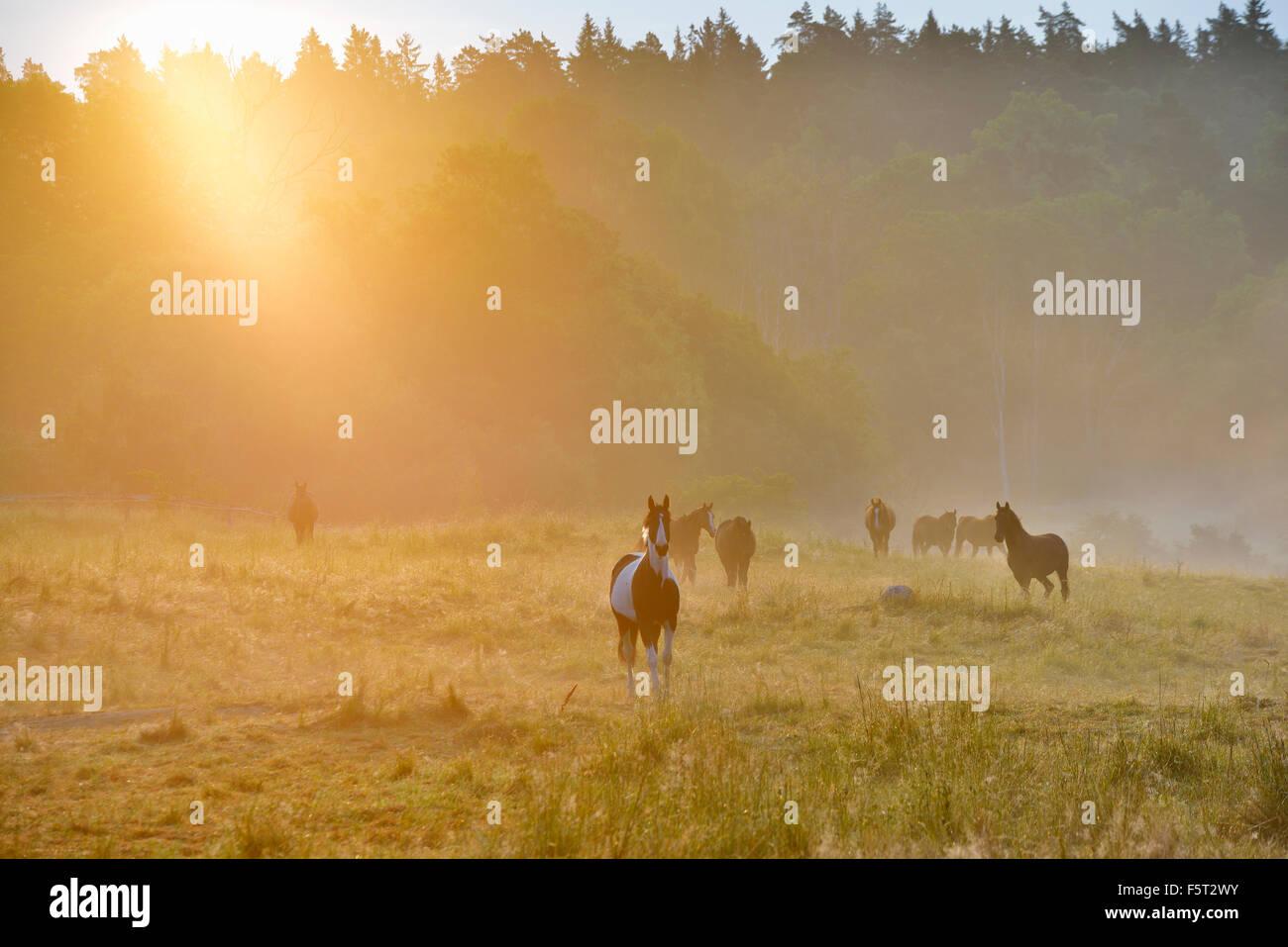 Sweden, Uppland, Lidingo, View of horses (Equus ferus caballus) in meadow at sunrise - Stock Image