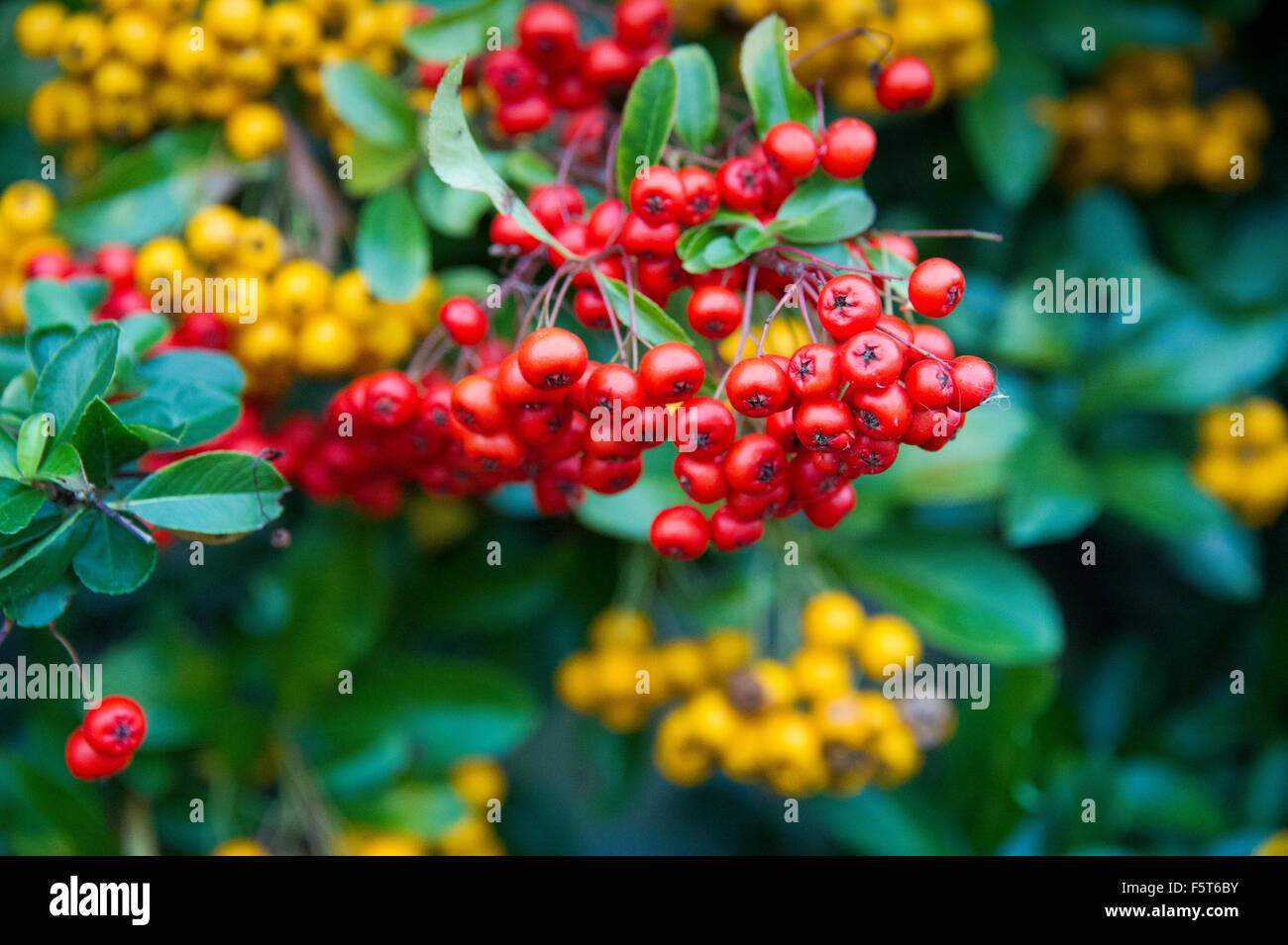 Cotoneaster hybridus pendulus evergreen shrub with white flowers evergreen shrub with white flowers in spring and redyellow berries in autumn mightylinksfo