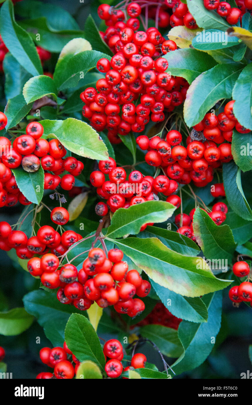 Cotoneaster Hybridus Pendulus Evergreen Shrub With White Flowers