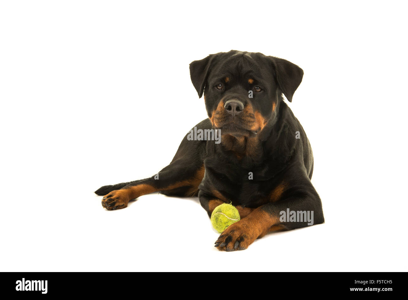 Rottweiler dog facing the camera lying down with her ball isolated on a white background - Stock Image