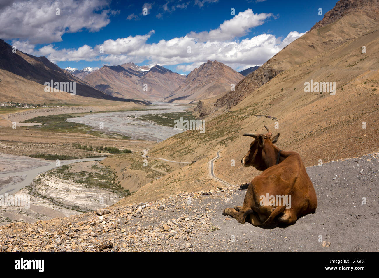 India, Himachal Pradesh, Spiti Valley, cow beside road into mountains north of Kaza - Stock Image