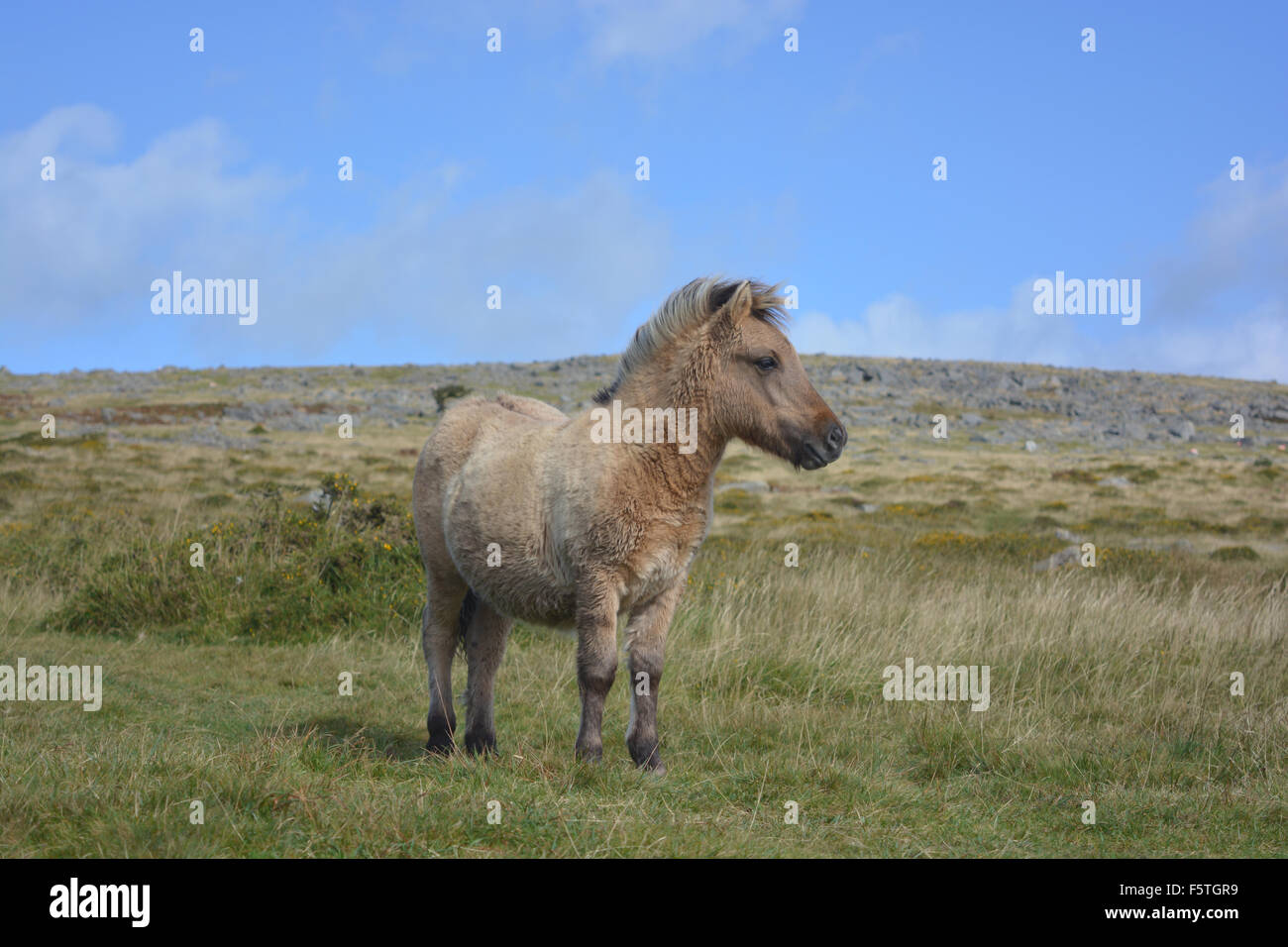 Dartmoor pony, Dartmoor National Park, Devon, England - Stock Image