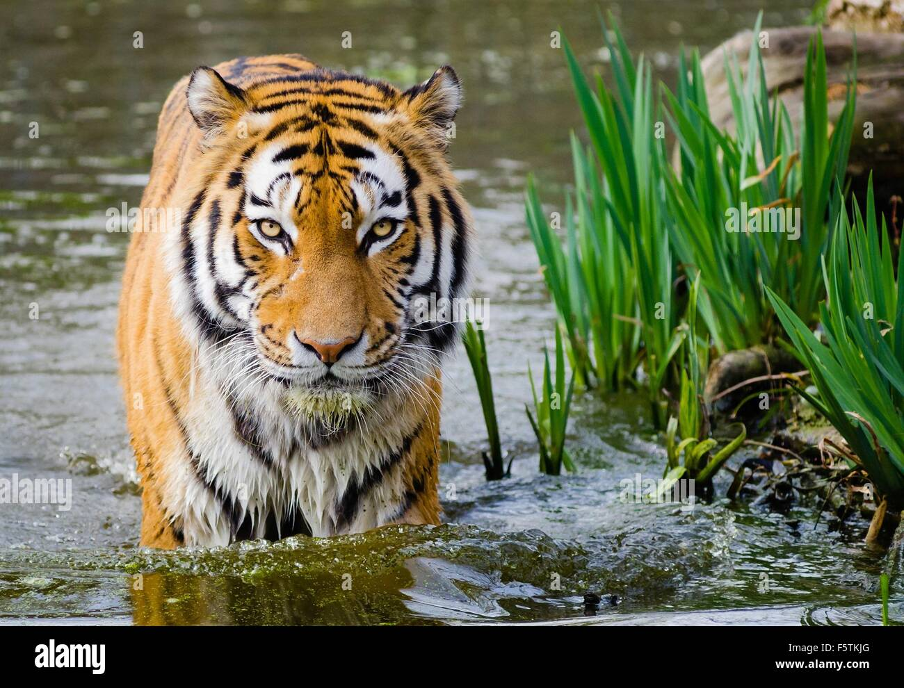 Closeup front view of an isolated tiger walking through water - Stock Image