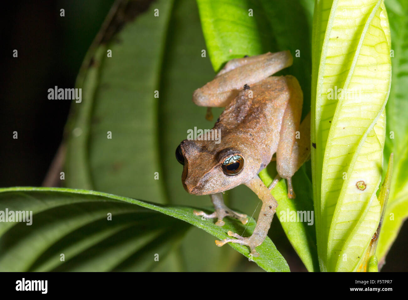 Male rain frog (Pristimantis matidiktyo) in calling position in the rainforest understory in Ecuador - Stock Image