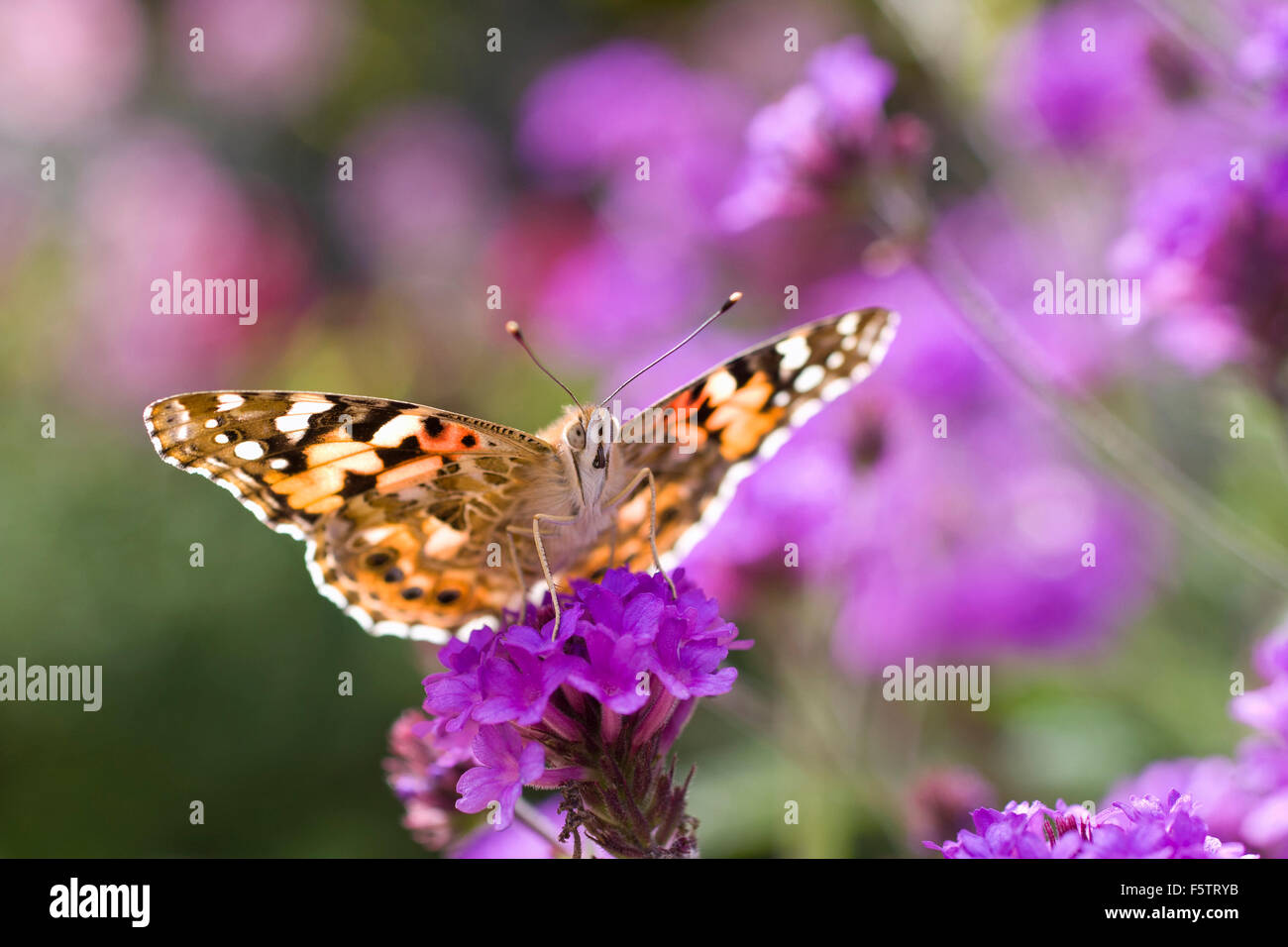Painted Lady Butterfly feeding on flowers, Vanessa cardui - Stock Image
