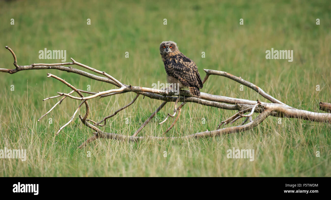 Eurasian Eagle-owe (Bubo bubo), adult on lookout, sitting on dry branches, Kasselburg, Eifel, Germany - Stock Image