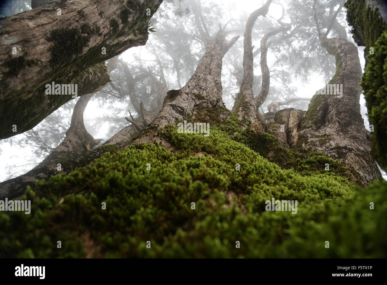 Large tee whose base is covered in green moss and its branches disappear into the mist above, at a botanical garden - Stock Image