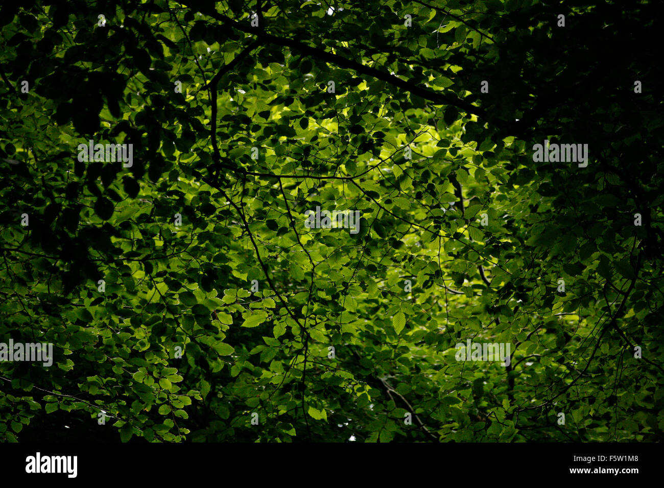 Green Leaves canopy in woods lit from above Stock Photo