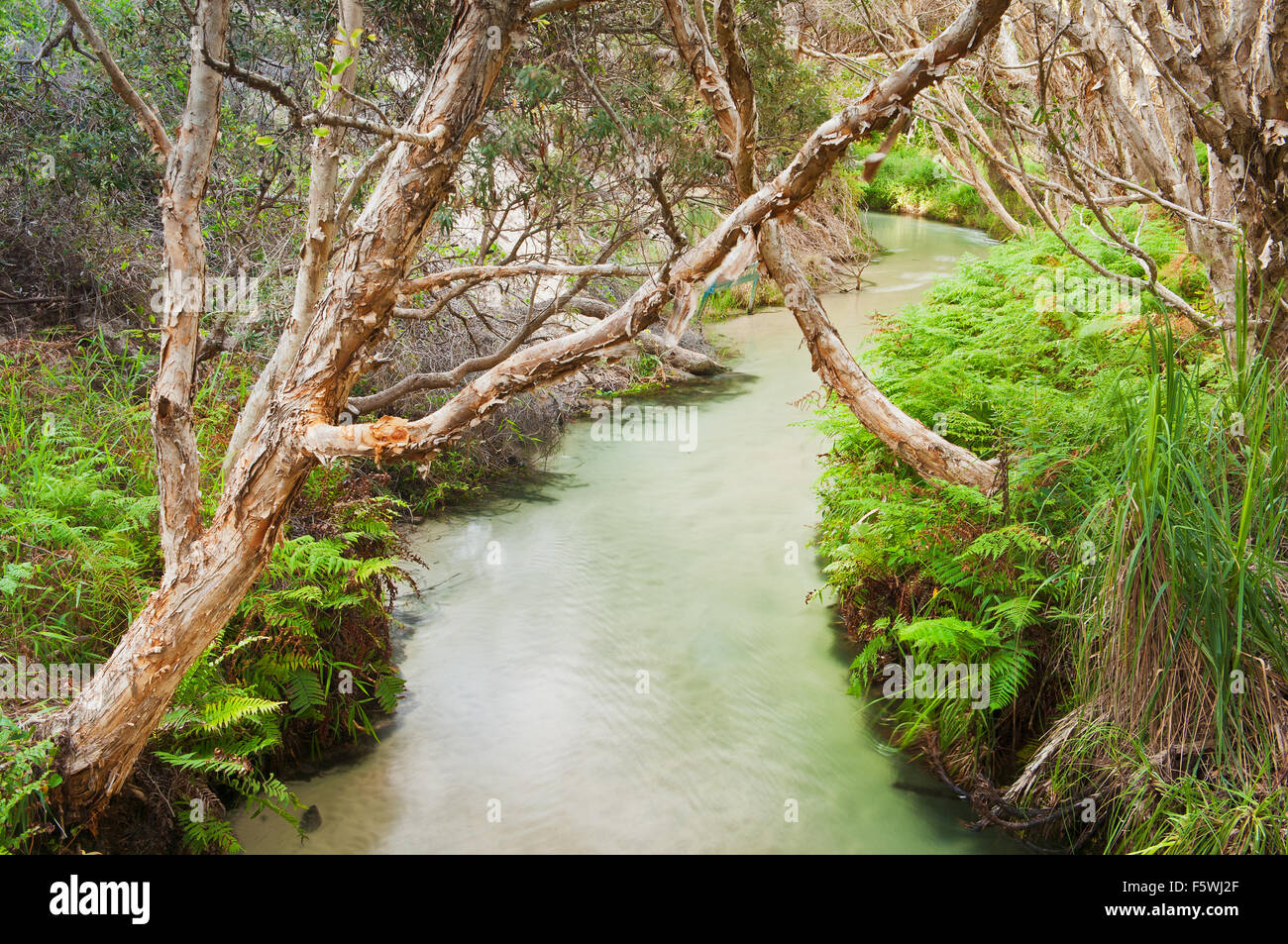 Tea Trees on Eli Creek a main attraction on Fraser Island. - Stock Image