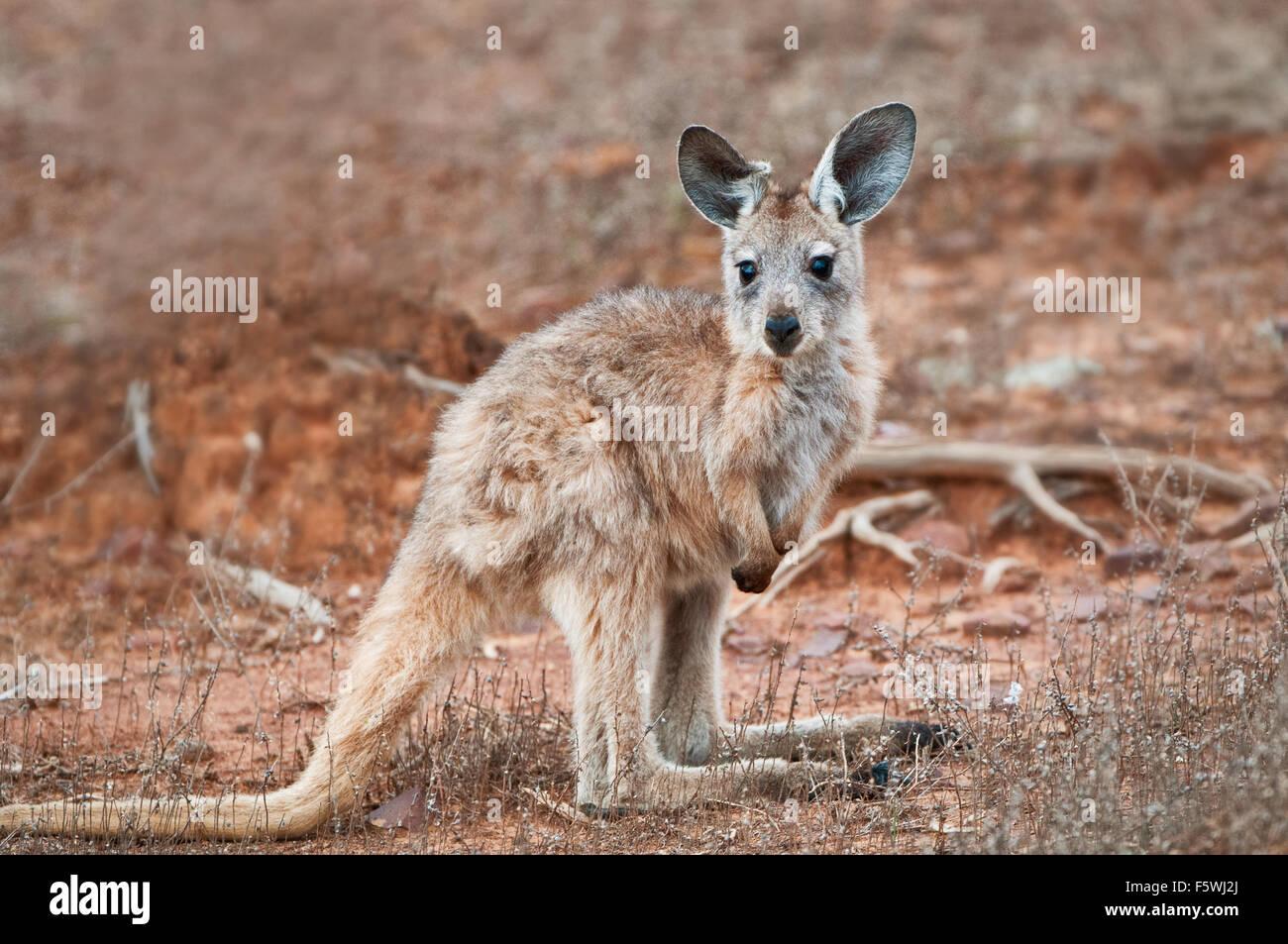 Kangaroo Joey of the species Euro (Wallaroo). - Stock Image