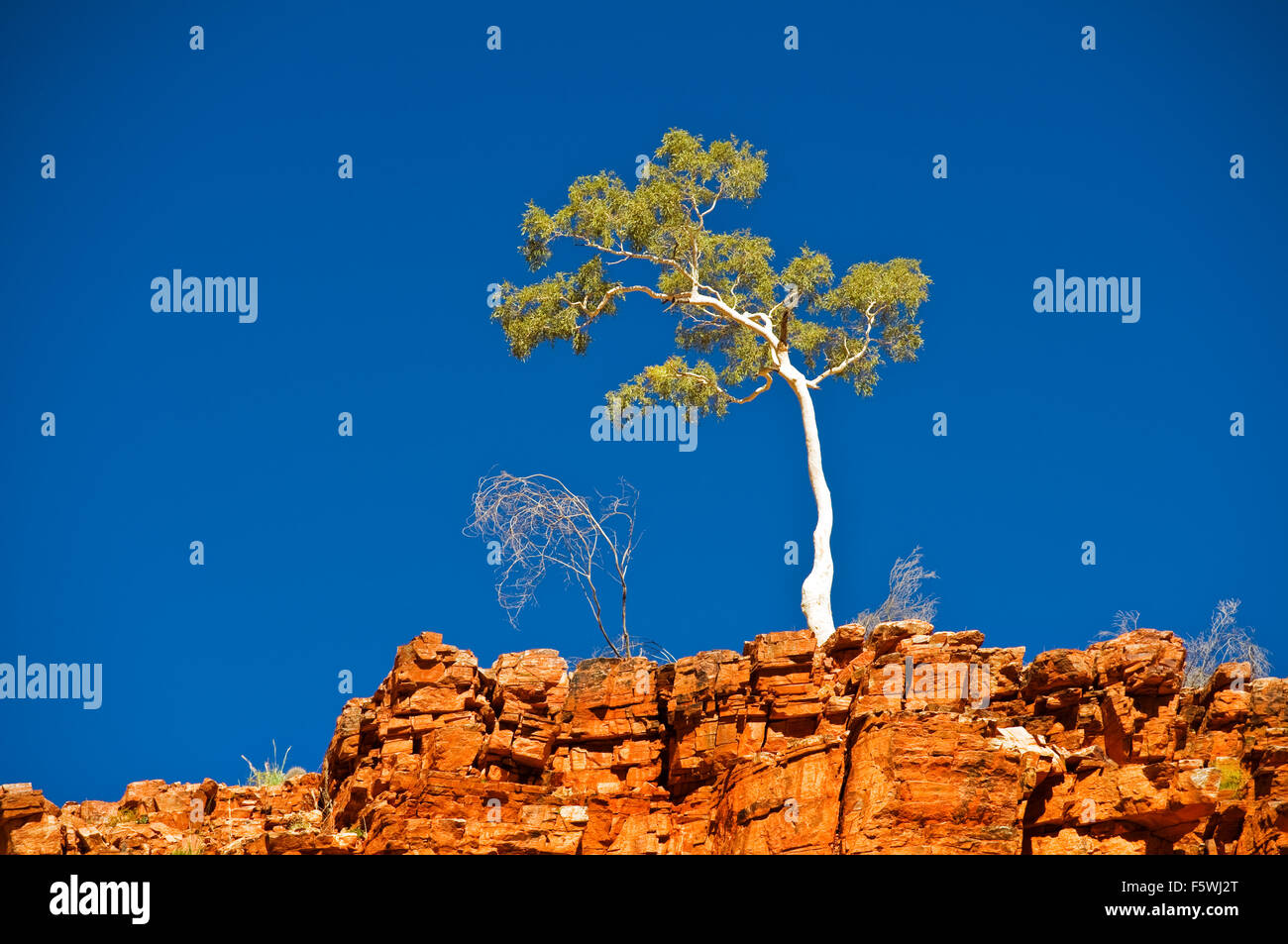 Lonely Ghost Gum standing on the edge of a red cliff in MacDonnell Ranges. - Stock Image