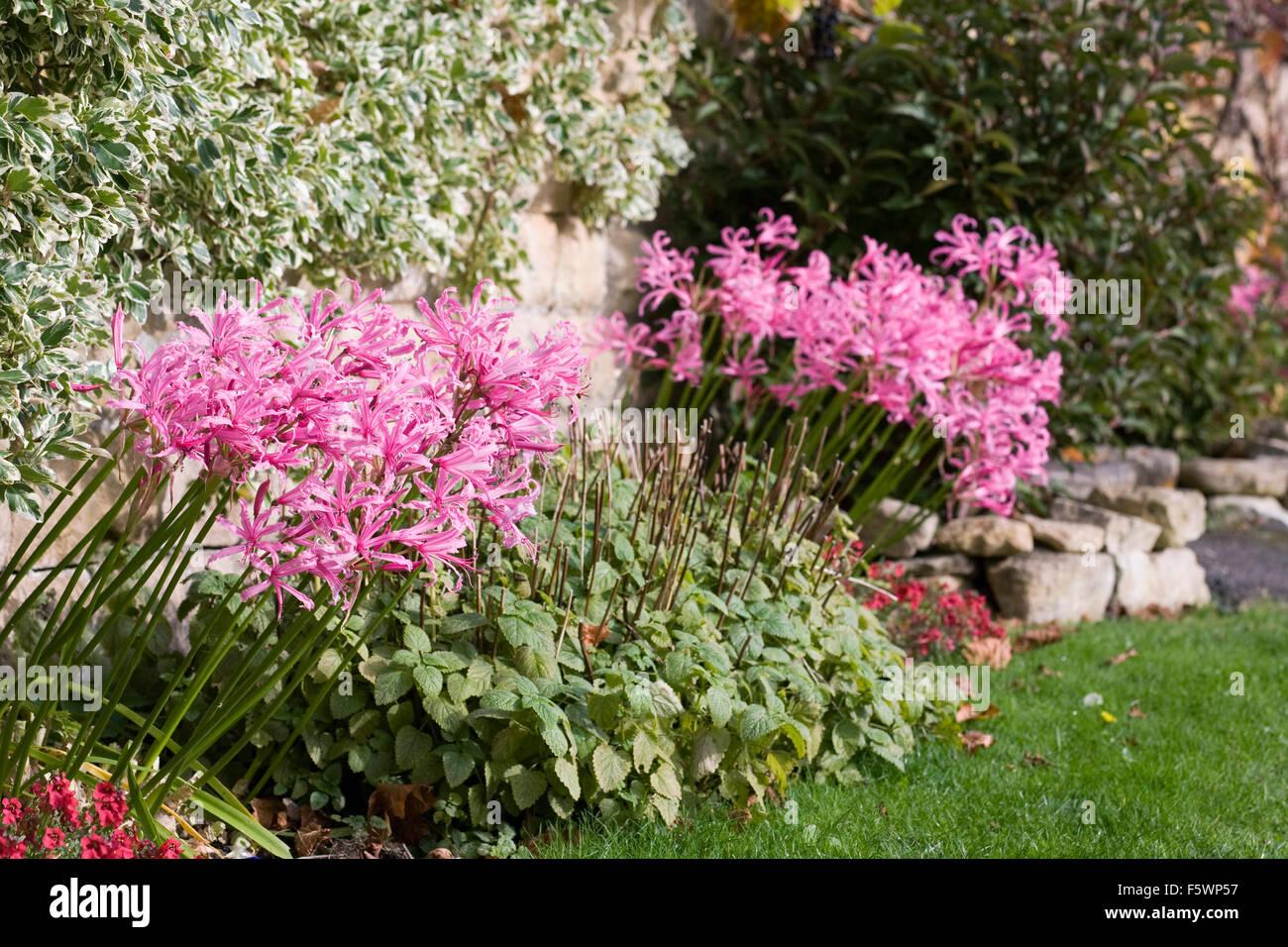 Nerine bowdenii growing at base of a wall. - Stock Image