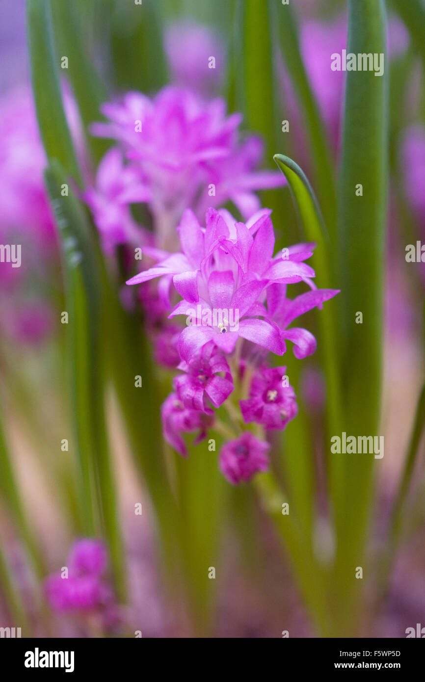 Polyxena pauciflora flowers growing in a protected environment. - Stock Image