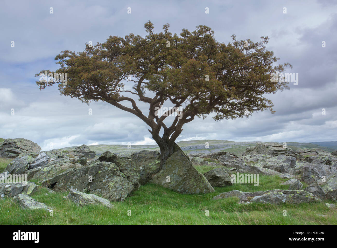 Stunted Hawthorn Tree growing through Limestone at Norber Brow, Austwick, Craven District, Yorkshire Dales, North - Stock Image