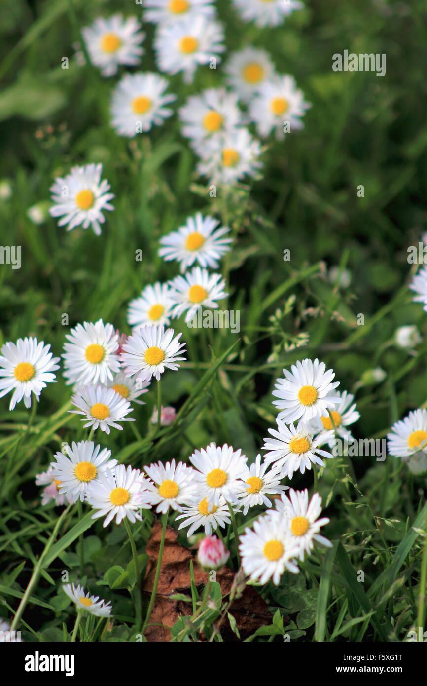 White Lawn Daisies - Stock Image