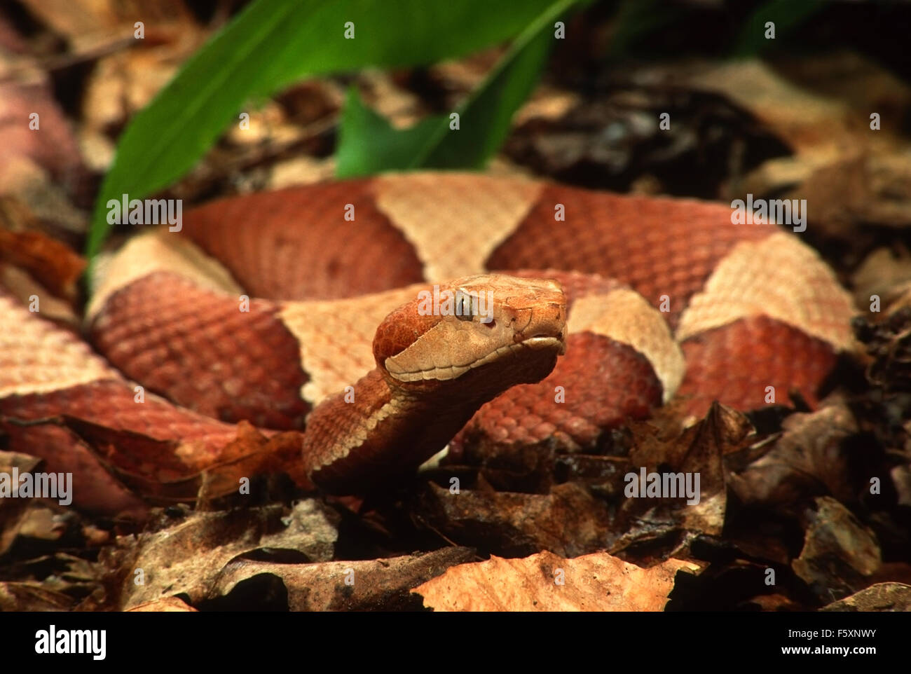 Broad-Banded Copperhead Snake (Agkistrodon contortrix) - Stock Image