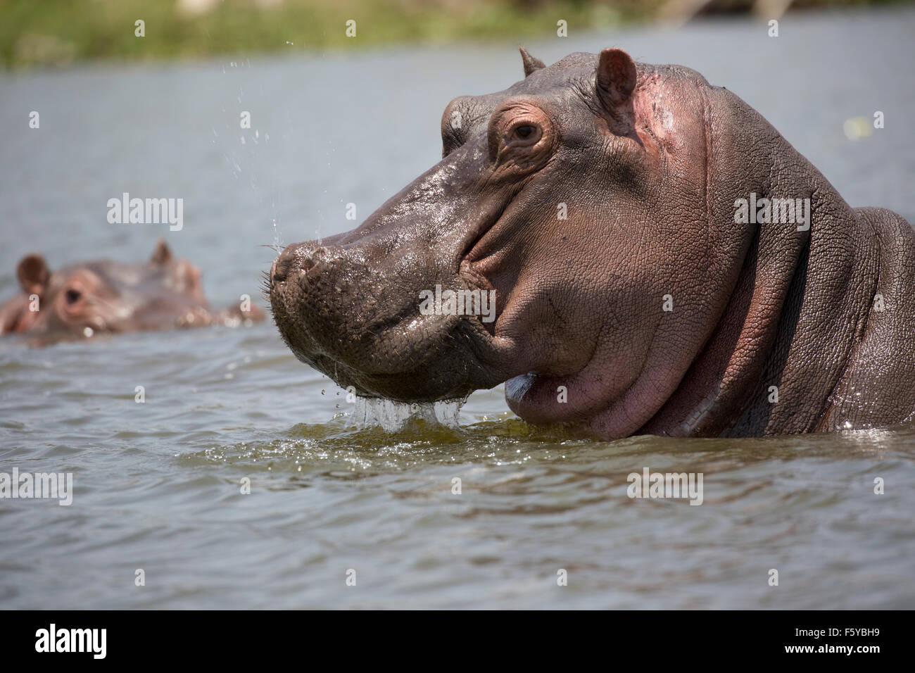 Close up of head of Hippopotamus amphibius Lake Naivasha Kenya - Stock Image